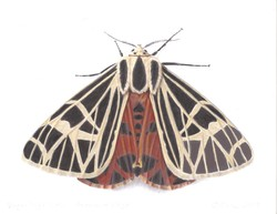 Virgin Tiger Moth Print